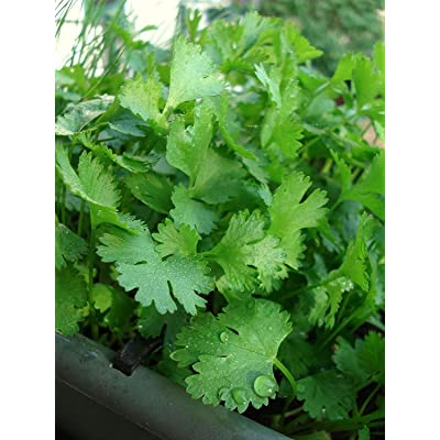 200 pcs Organic Cilantro Seeds : Garden & Outdoor