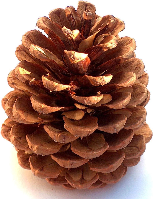Frfjy 10pcs No/ël D/écoration Grand Pin Naturel C/ônes Pomme de Pin No/ël Nouvel An Vacances F/ête D/écoration Ornement pour Maison Fournitures 10PCS
