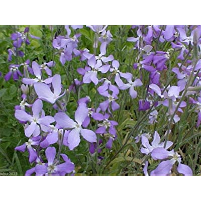 Evening Scented Stock-3000 Seeds (Matthiola longipeta) Perfume Plant, Cold Hardy : Garden & Outdoor