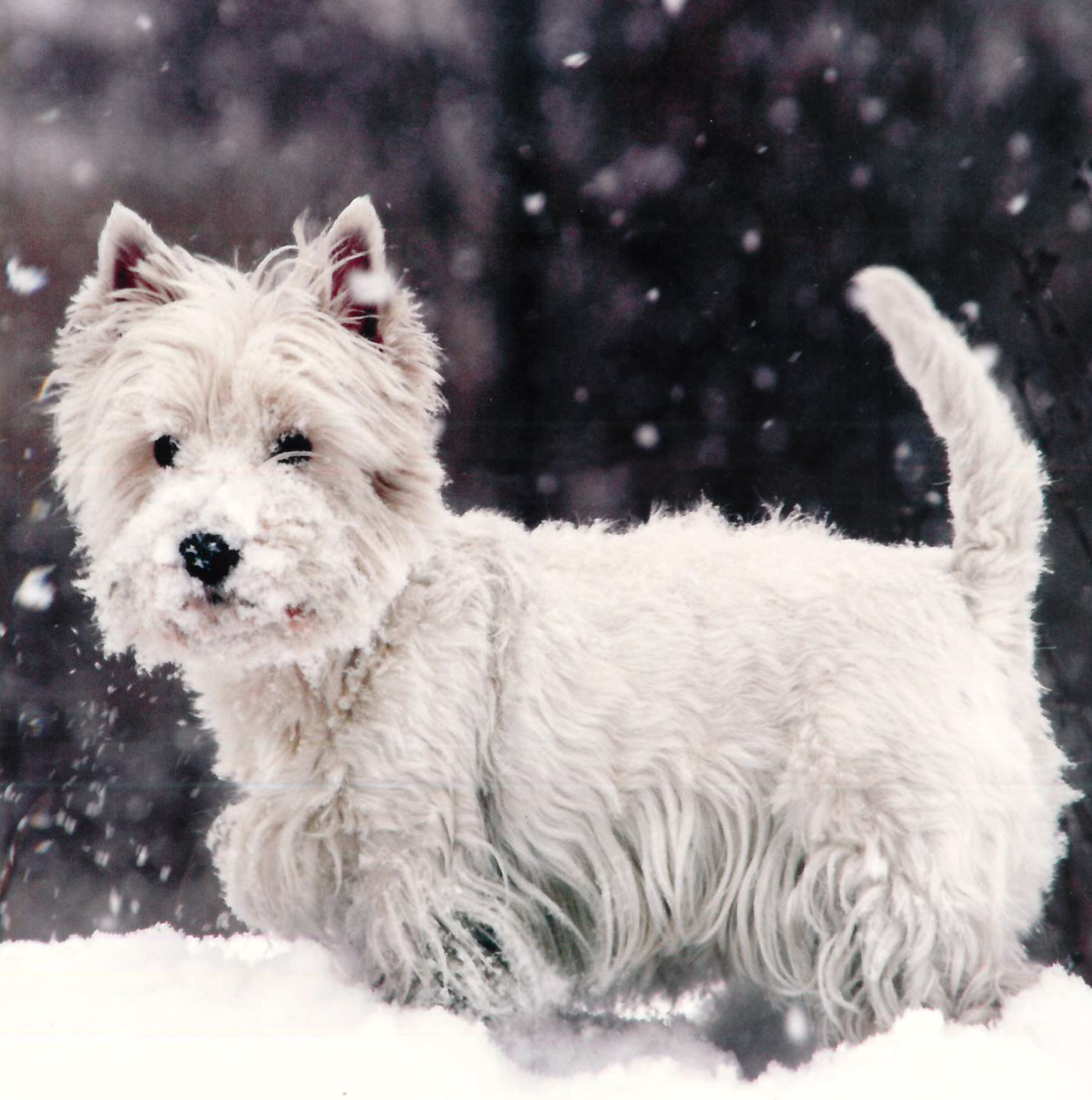 Charity Christmas Cards - Westie in the Snow - 4.95 x 4.95\