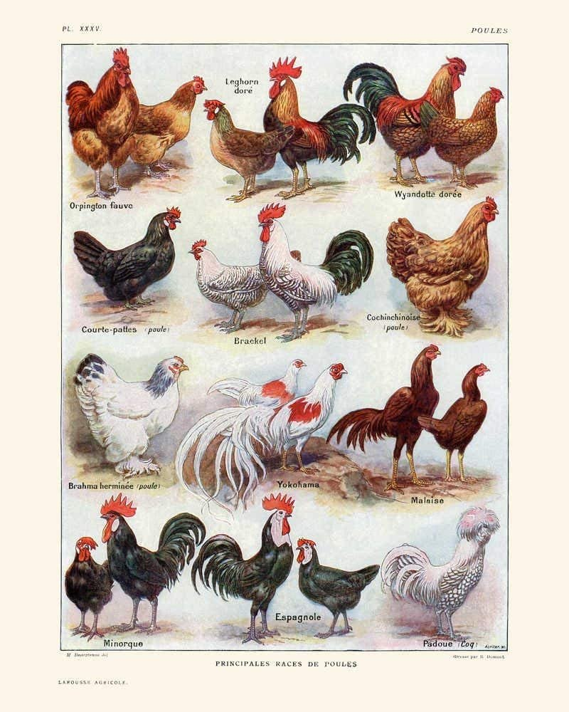 Amazon.com: Chickens, Hens, and Roosters Breeds Vintage Print 1 - Rooster  Poster - Chicken Art - Home Decor - Home Art - Kitchen Art - Larousse -  VP1020-21 x 30 cm: Posters & Prints