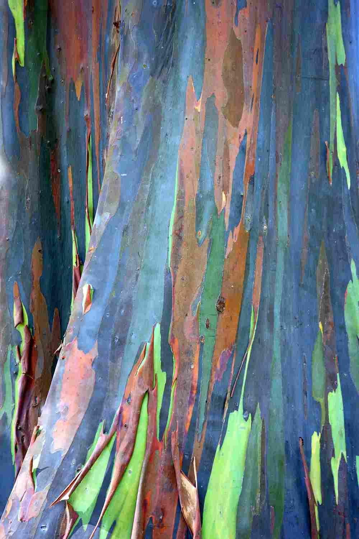 Asklepios-seeds® - 7500 seeds of Eucalyptus deglupta, Rainbow-Tree, Rainbow-Gum, Rare viable seeds