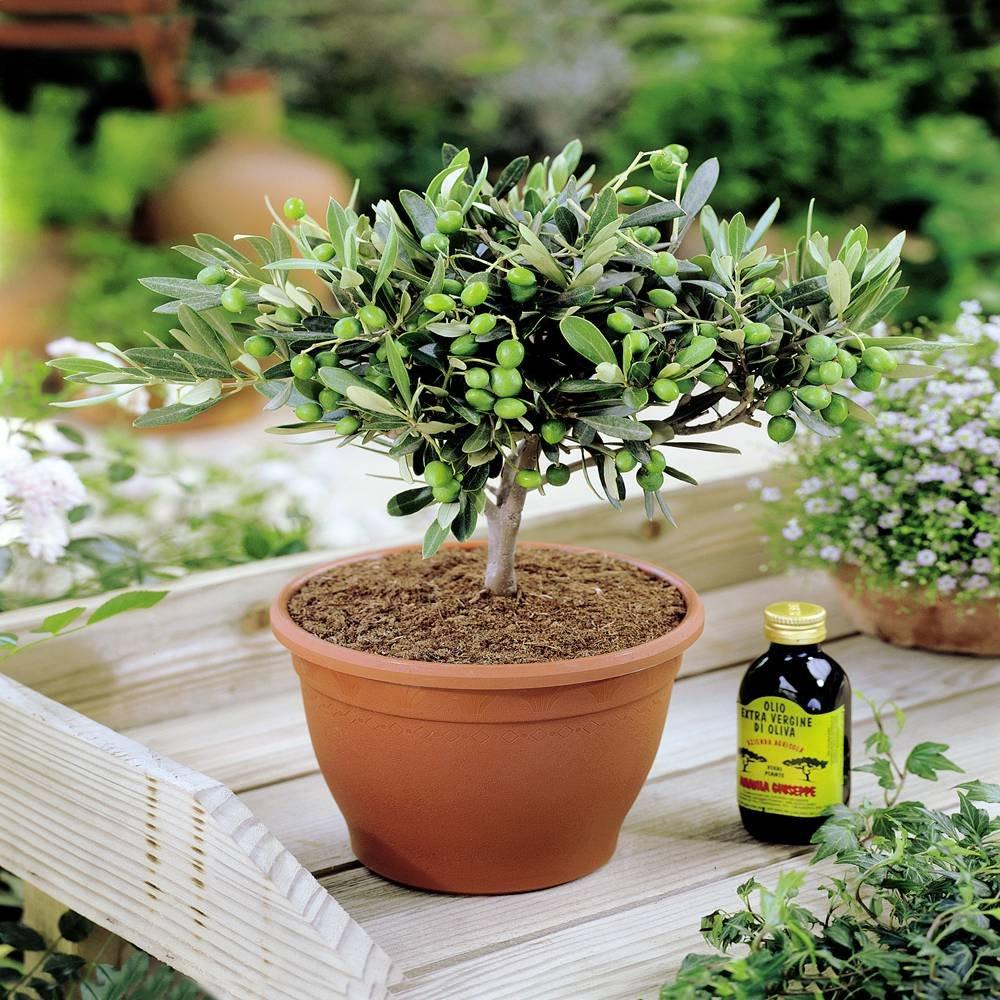 1 tree Olivia Europeana Olive Tree