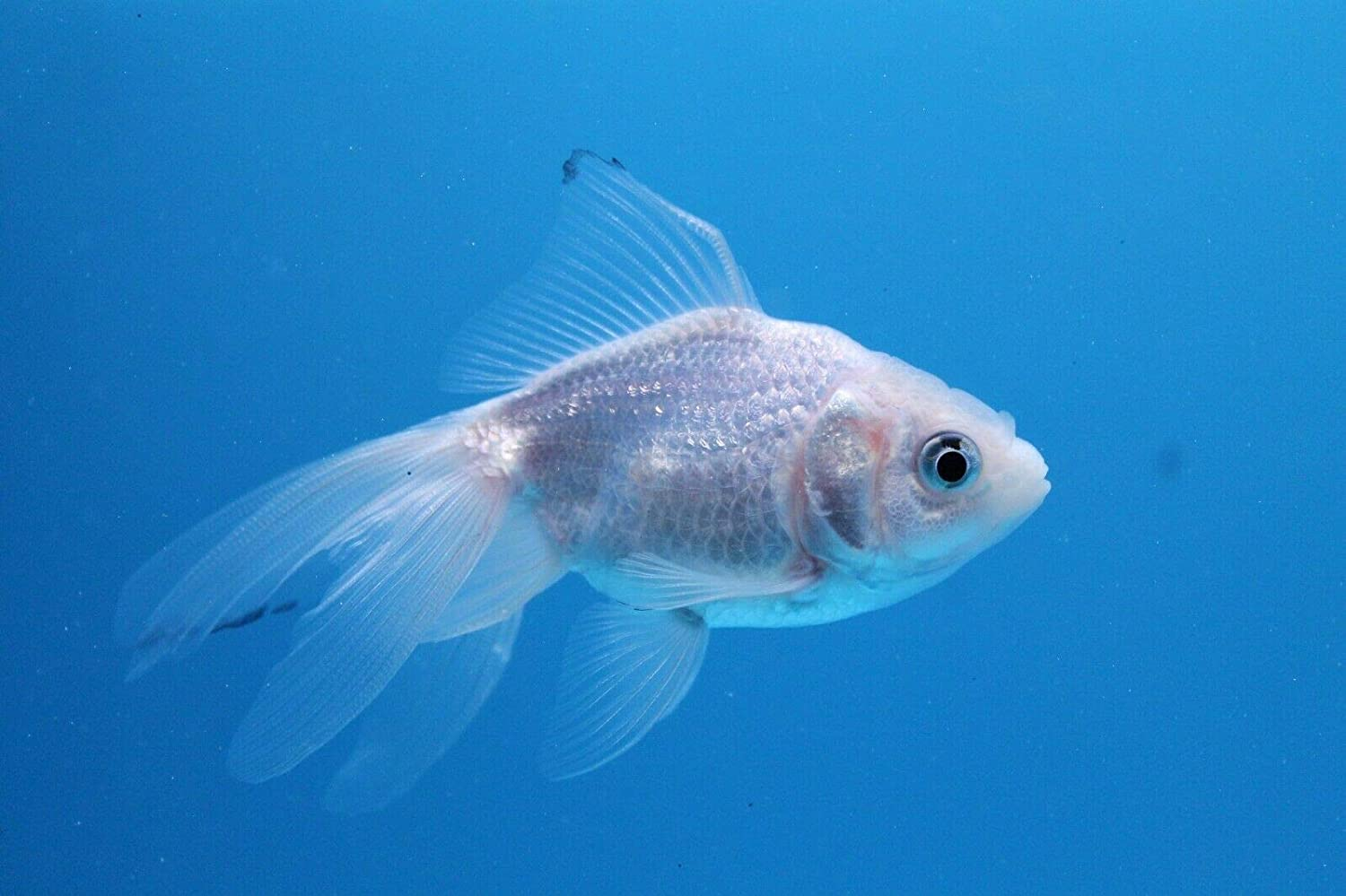 Amazon com : White Oranda 3