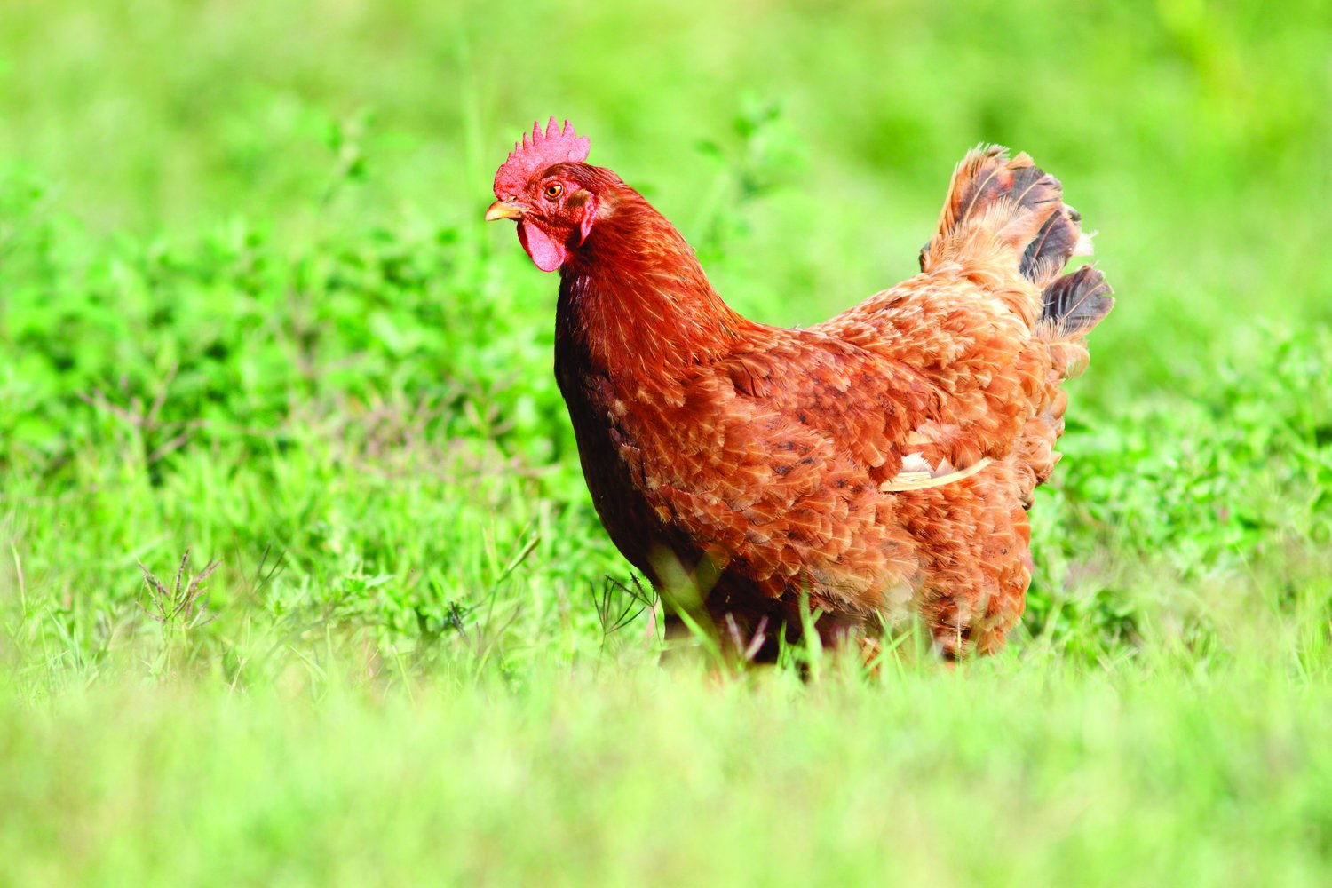 Nature's Seed Great Plains Poultry Pasture Blend, 1500 sq. ft.