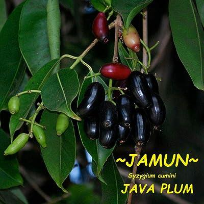 ~JAMUN~ Syzygium cumini Java Plum Jambolan JAMBUL Live Sml potd Starter Plant : Garden & Outdoor