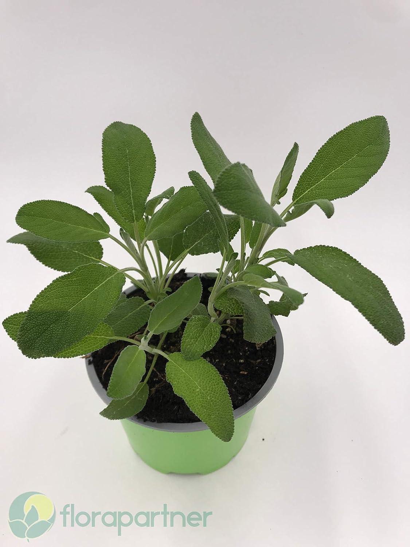 Marzipan Salbei Salvia officinalis /'Nazareth/' Kr/äuter Pflanze 1stk.