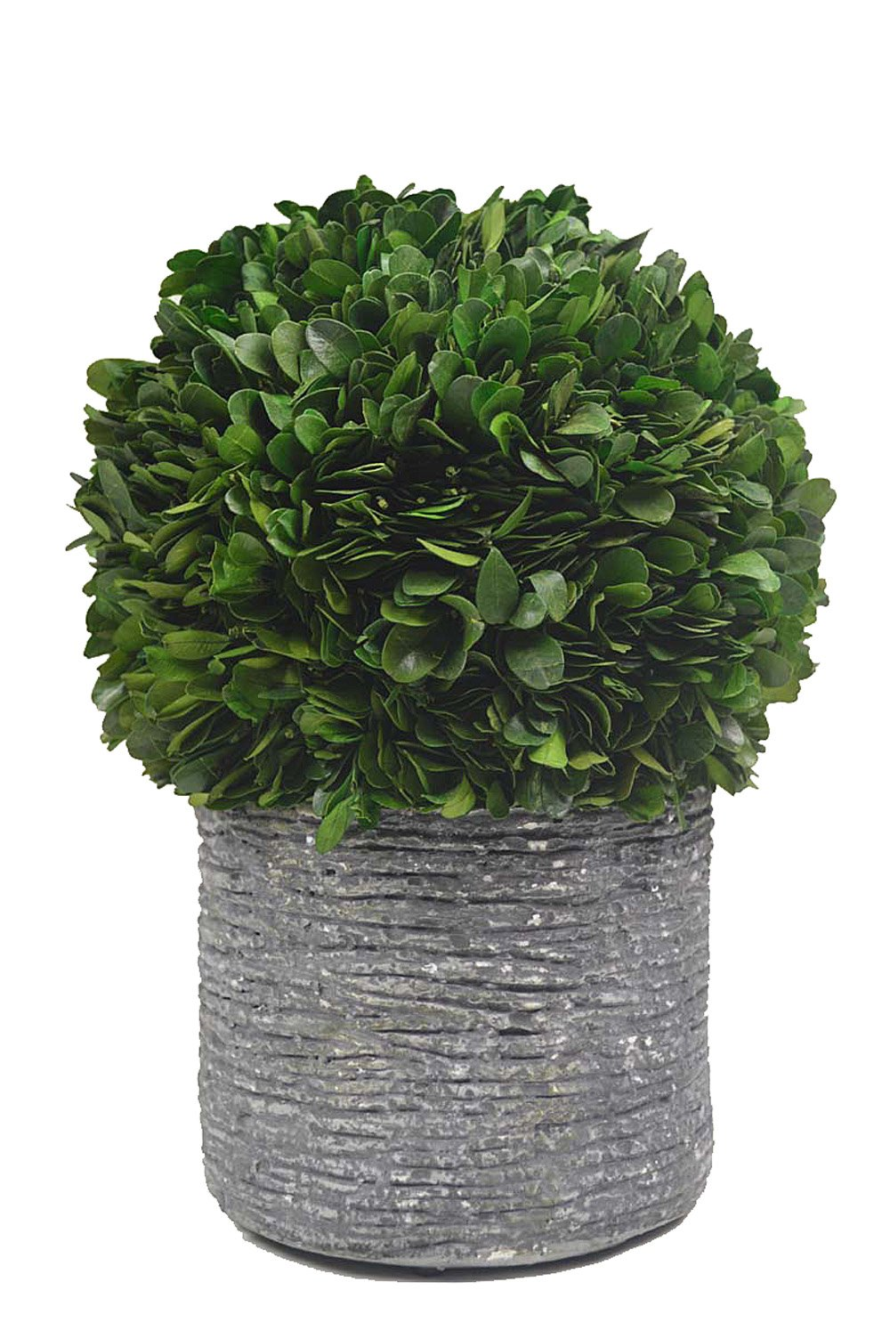 Galt International Topiary Plant with Decorative Pot, 10-Inches Naturally Preserved Real Boxwood