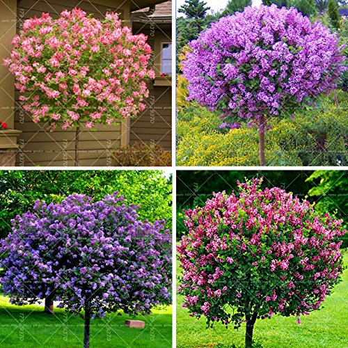Lilac Tree Lilac Tree Planting 100PCS Beautiful Lilac Flower Clove Flower Bonsai Lilac Trees Syzygium Aromaticum Perennial Outdoor Plant for Home (Mix Color)