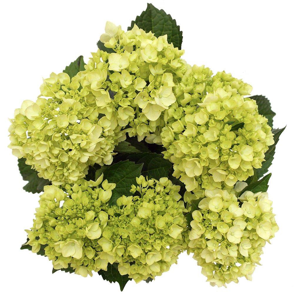 GlobalRose 10 Fresh Cut Green Mini Hydrangeas - Fresh Flowers For Weddings or Anniversary. by GlobalRose (Image #2)