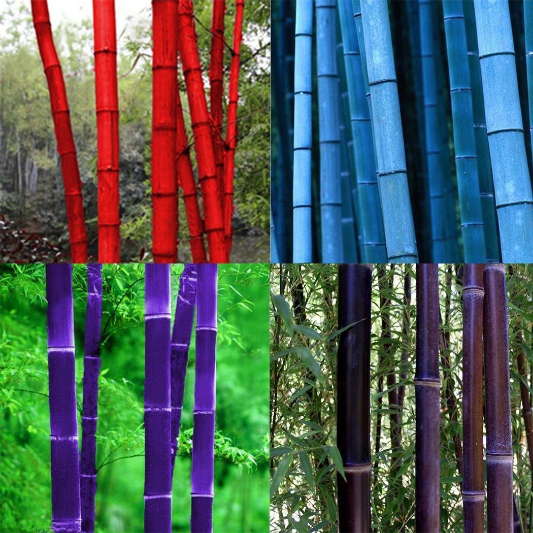 China Moso Bambus Phyllostachys pubescens f/ür M/öbel geeignet f/ür Garten zum Hausbau Samen Riesenbambus starkw/üchsig frosthar Teich Keland Garten Z/äune Ger/üstbau
