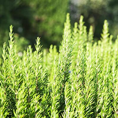 LEANO Organic Savory Summer Rosemary Herb Seed Healthy and Tasty Herb Heirloom Non-GMO for Home Garden Planting : Garden & Outdoor
