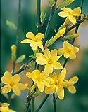 Gelber Winter-Jasmin -Jasminum nudiflorum- Winterblüher, zahlreiche gold-gelbe, kleine Blüten - Winter-Pflanze Kletterpflanze – von Garten Schlüter (2L Container - 40 bis 60cm Pflanze)