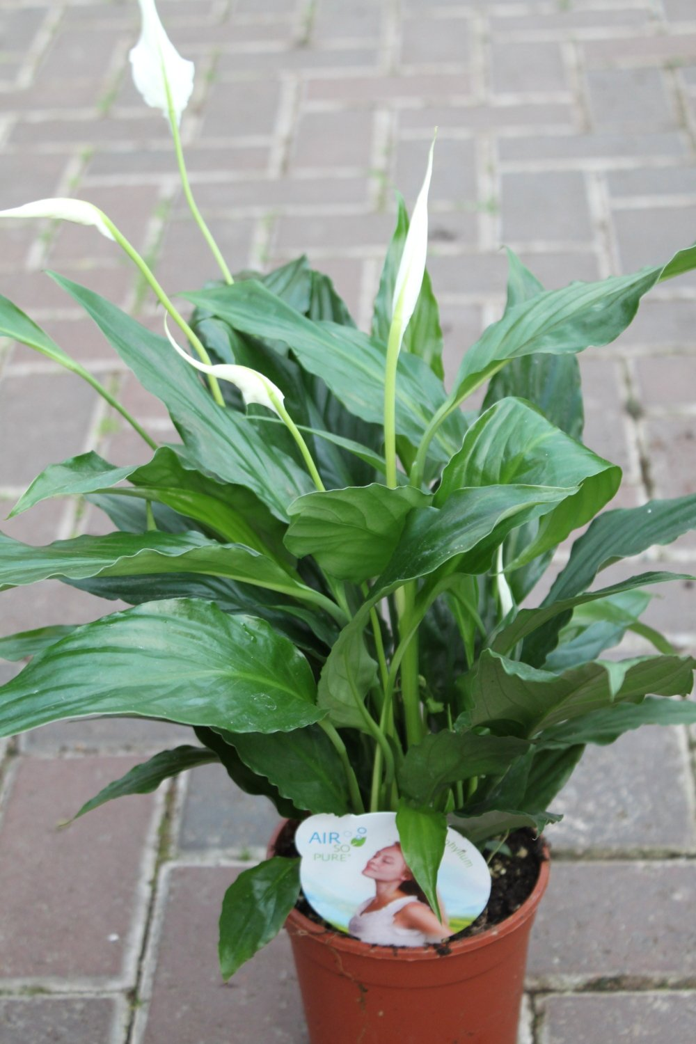 Peace lily amazon garden outdoors indoor plant house or office plant spathyphyllum 40cm tall peace lily izmirmasajfo