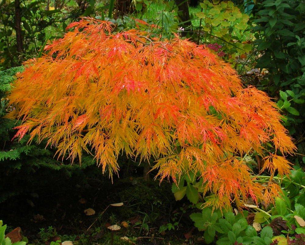 Japanese Maple Waterfall, 3 Gal. 2.5 - 3 feet