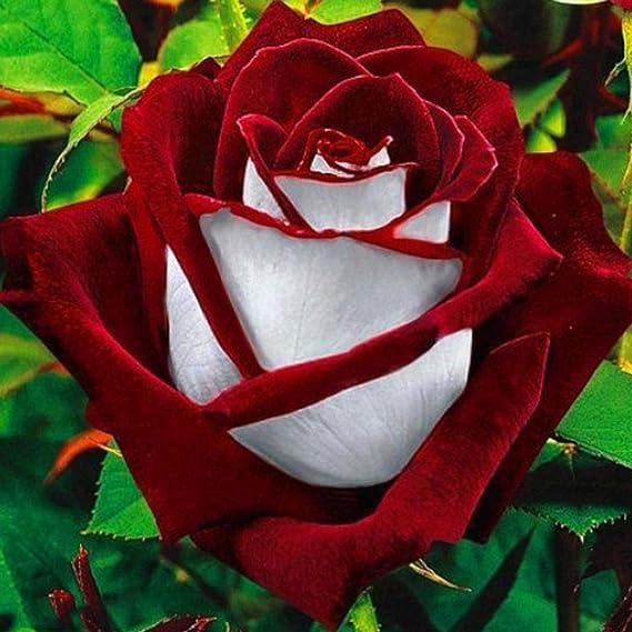 White Blood Rose Weiße Blutrose Selten 50 Samen Rosensamen
