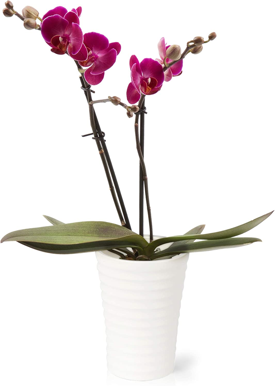 Amazon Com Color Orchids Live Blooming Double Stem Phalaenopsis