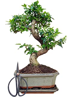 Bonsai baum garten  20 seltene japanische Bonsai-Baum Kirschbaum Mini Bonsai Sakura ...