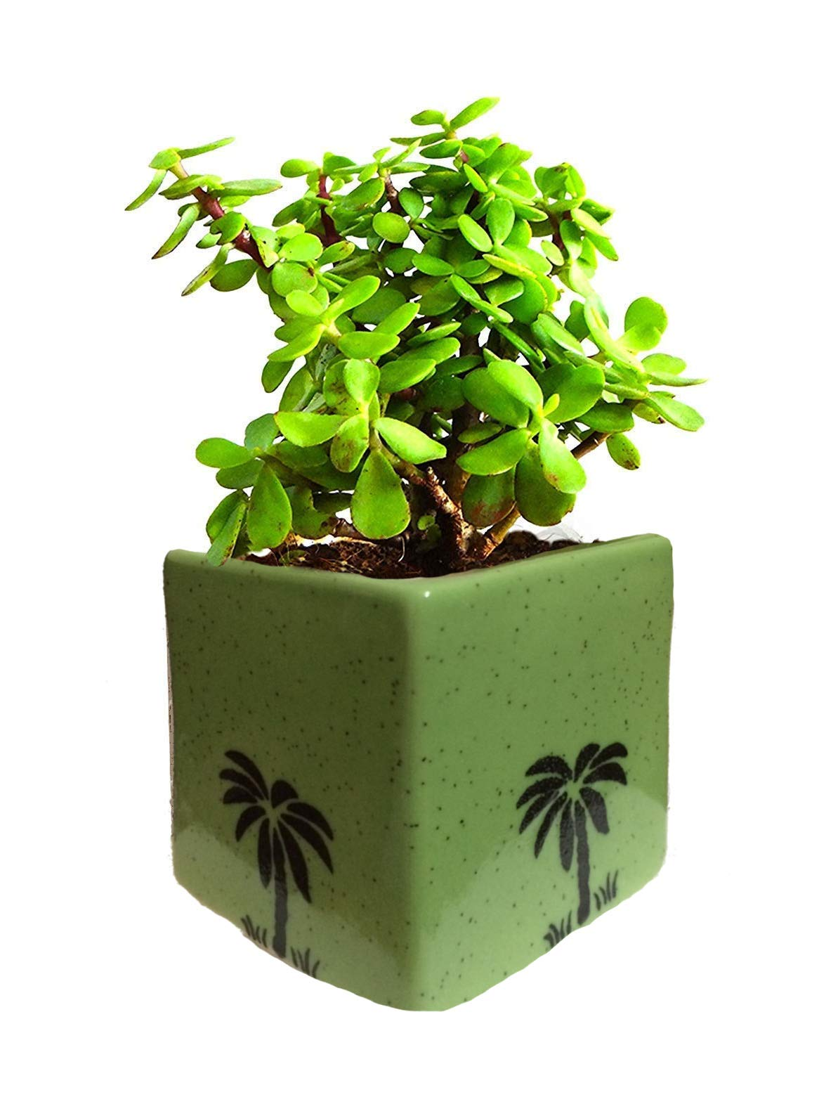 Amazon price history for Abana Homes Beautiful Good Luck Jade Plant with Pot Indoor - Air Purifying