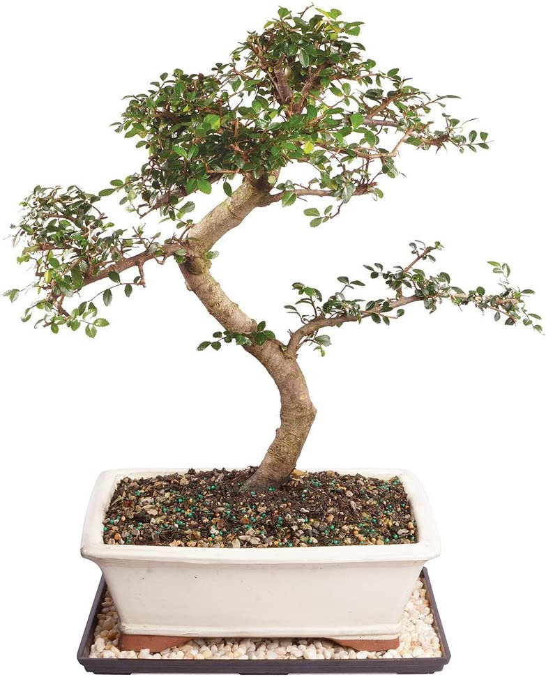 Amazon Com Brussel S Live Chinese Elm Outdoor Bonsai Tree 14 Years Old 16 To 20 Tall With Decorative Container Humidity Tray Deco Rock Garden Outdoor