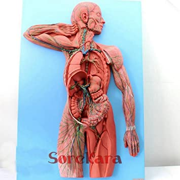 Simulation Human Anatomical Lymphatic System Anatomy Medical Model