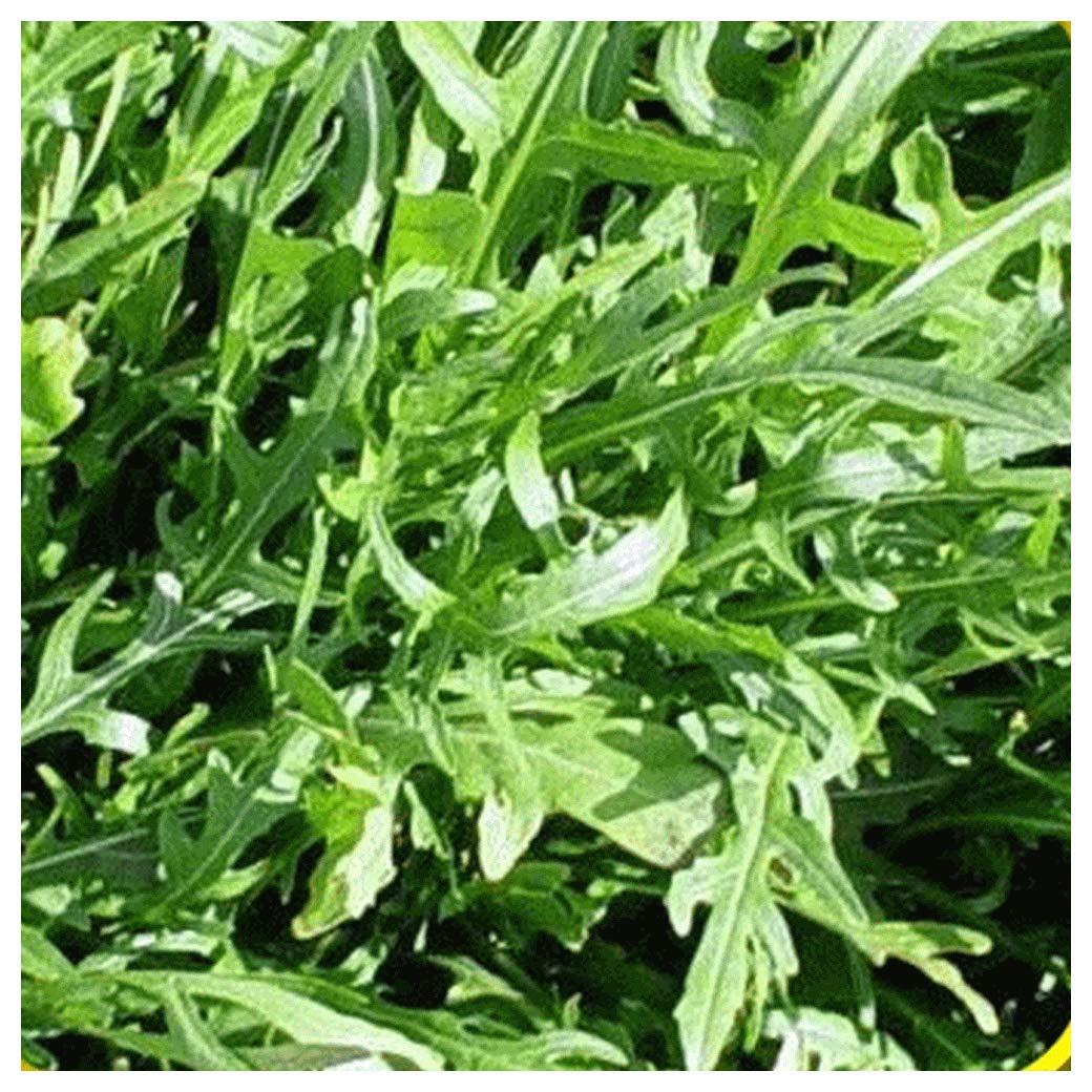 Everwilde Farms - 1 Lb Roquette Arugula Herb Seeds - Gold Vault