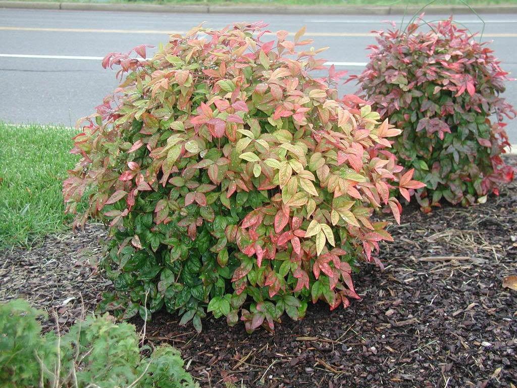 1 Dwarf Nandina Firepower (ornamental shrub)