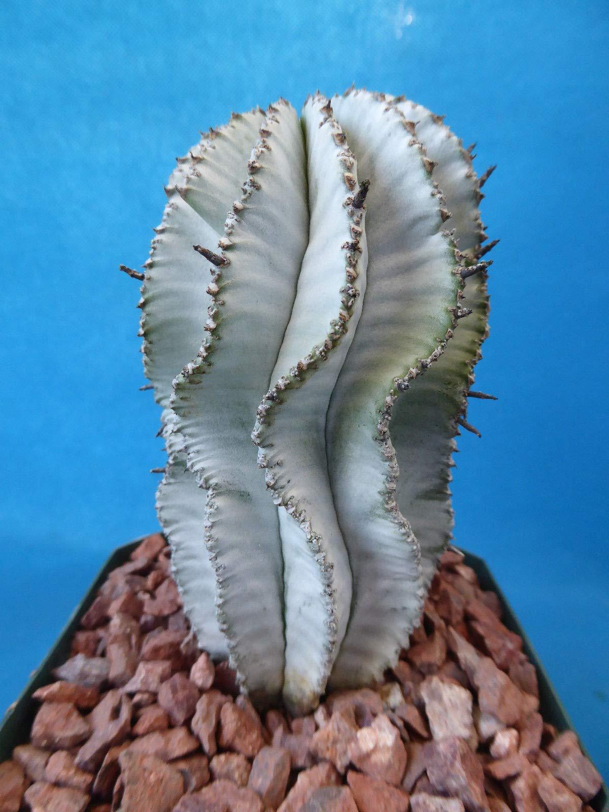 Euphorbia polygona''Snowflake'' Super White CULTIVAR! 4.5'' Tall, Affordable! A1