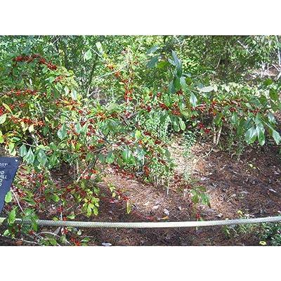 20 Red Cascade Holly Seeds #RDR02 : Garden & Outdoor