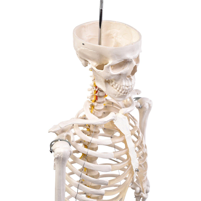 """Anatomie Modell """"Menschliches Skelett"""", groß, ca. 180 cm, geeignet ..."""