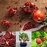 Granatapfel 25 Samen Seine Vitamine f/ördern die Sex-Lust