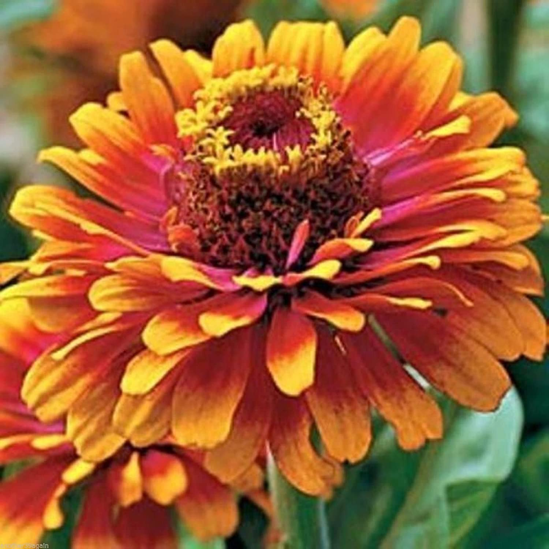 Amazon Zowie Yellow Flame Zinnia 20 Seeds Bold Bright
