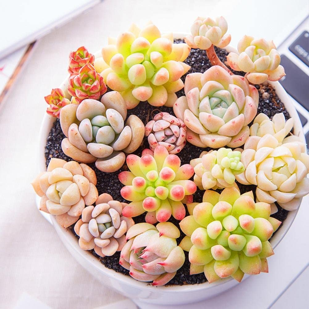 Gracefulvara 400pcs Rare Mixed Succulent Seeds Lithops Living Stones Plants Cactus Plant