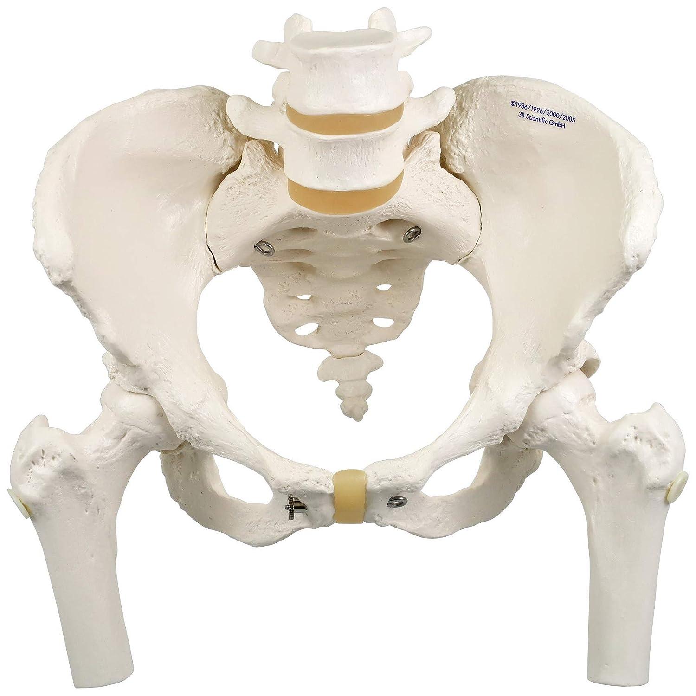 【メーカー包装済】 女性骨盤モデル,大腿骨付 大腿骨付き 大腿骨付き B007NCUAHG B007NCUAHG, eco家具:84be84a8 --- a0267596.xsph.ru