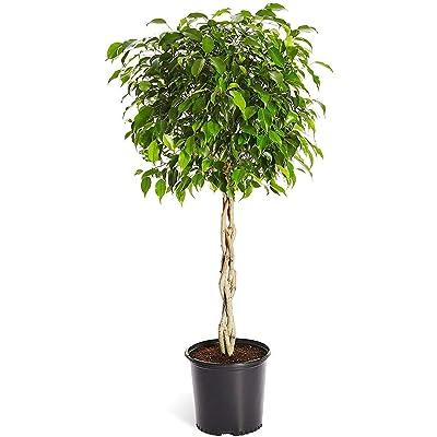 """AchmadAnam French Staghorn Fern Plant Platycerium lemoinei 4"""" Pot Indoor Houseplant Yard : Garden & Outdoor"""