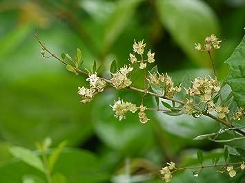 Amazon Com 300 Lawsonia Inermis Seeds Henna Plant Mehandi Seeds
