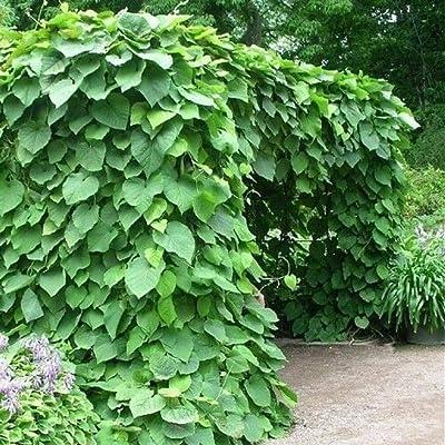 15 Seeds Dutchman's Pipe Vine Seeds #UDS3 : Garden & Outdoor