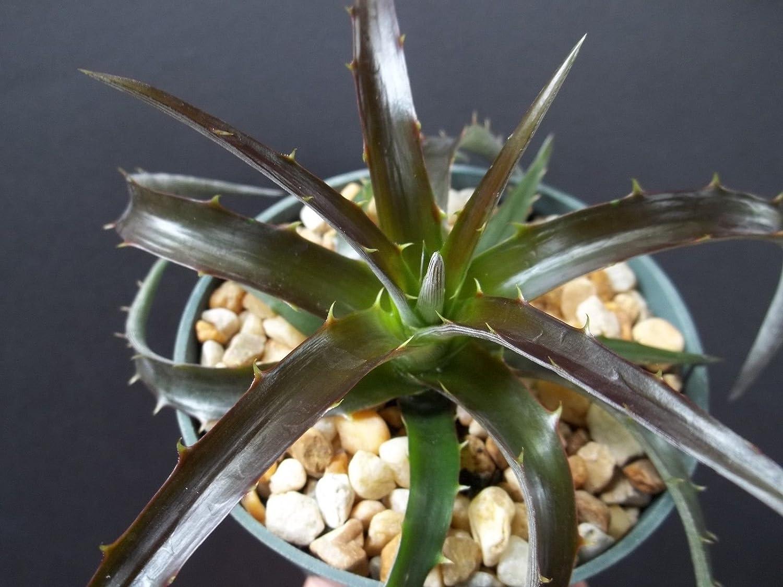 "Dyckia Burgundy Ice rare succulent air plant exotic bromeliad agave cacti 4"" pot"