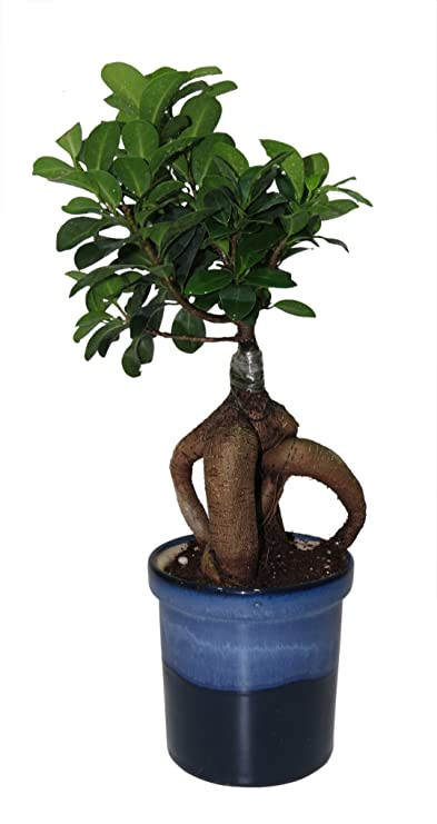 Exotic Green Ficus 4 Year Old Bonsai Plant Ocean Blue Pot Indoor Bonsai Plants at amazon