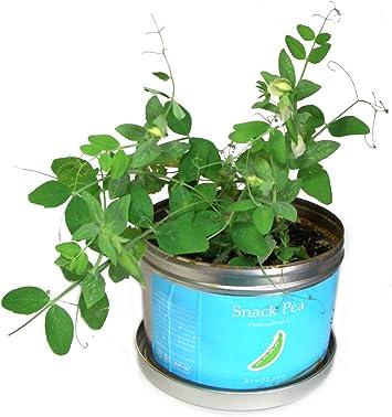 えんどう豆栽培