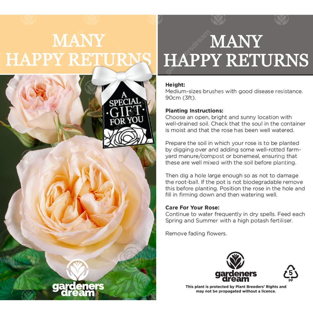 Many Happy Returns Rose Celebrate Someone Specials Birthday with a Unique Living Plant Gift