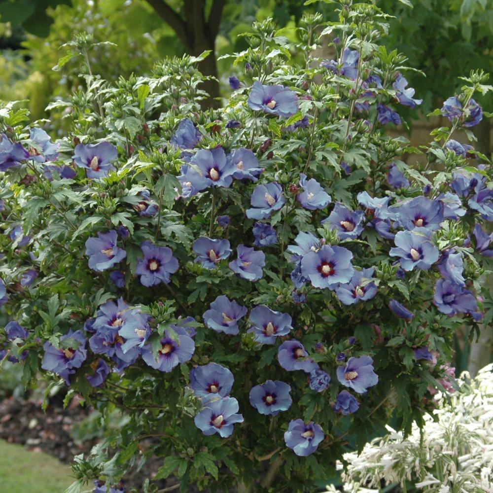 YouGarden Standard Hibiscus Tree Marina, 5 Litre Pot, Blue: Amazon ...