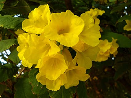 Amazon tecoma stans yellow bells trumpet flower 10seeds tecoma stans yellow bells trumpet flower 10seeds mightylinksfo