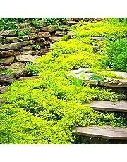 MEIGUISHA Sementi - 50pcs Erba Pignola Sempreverde Attira molte farfalle - Phlox Flox Tappezzante Pianta Semi di fiori giardini rocciosi resistente