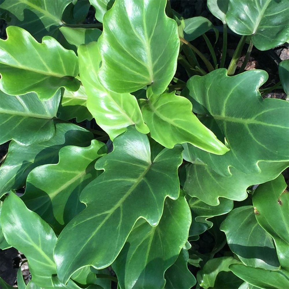 AMERICAN PLANT EXCHANGE Xanadu Philodendron Live Plant, 3 Gallon, Green by AMERICAN PLANT EXCHANGE