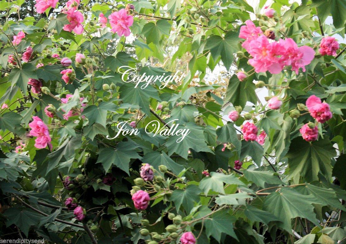 Amazon.com : Hibiscus mutabilis Confederate Rose Flower Tree 10 ...
