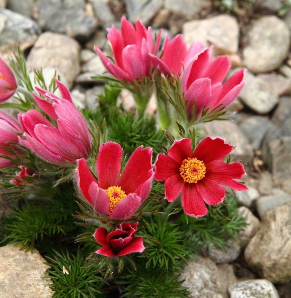 Semillas de flores rojas de Pasque - Pulsatilla de anémona Legutko