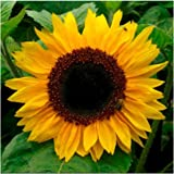 Package of 100 Seeds, Yellow Pygmy Sunflower (Helianthus annuus) Open Pollinated Seeds By Seed Needs