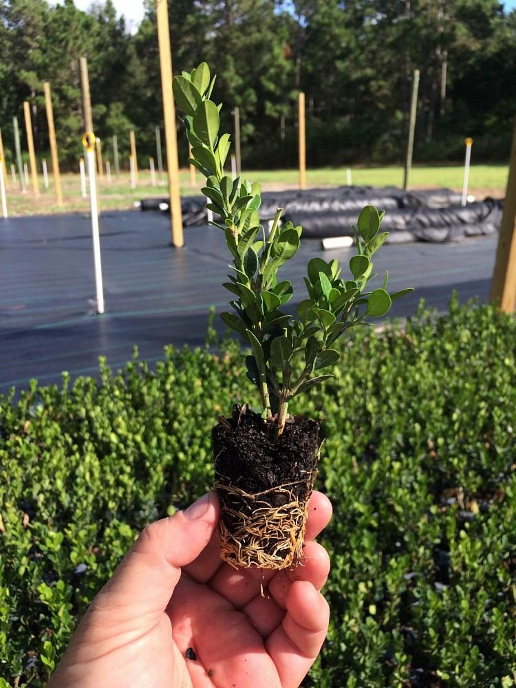 Winter Gem Boxwood - 60 Live Plants - 2'' Pot Size - Buxus Microphylla Japonica - Fast Growing Cold Hardy Formal Evergreen Shrub by Florida Foliage (Image #2)