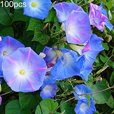 fanmaosdf Petunia Seeds,100Pcs Petunia Seeds Morning Glory Ornamental Climbing Flower Plant Garden Decor Petunia Seeds: Sports & Outdoors